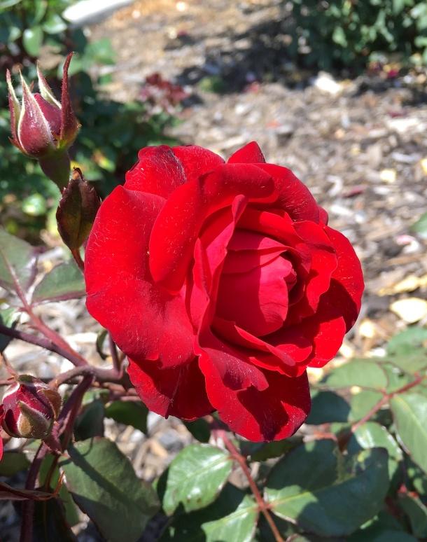 20171102_rose